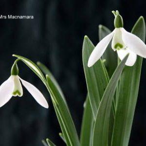 Galanthus Mrs McNamara